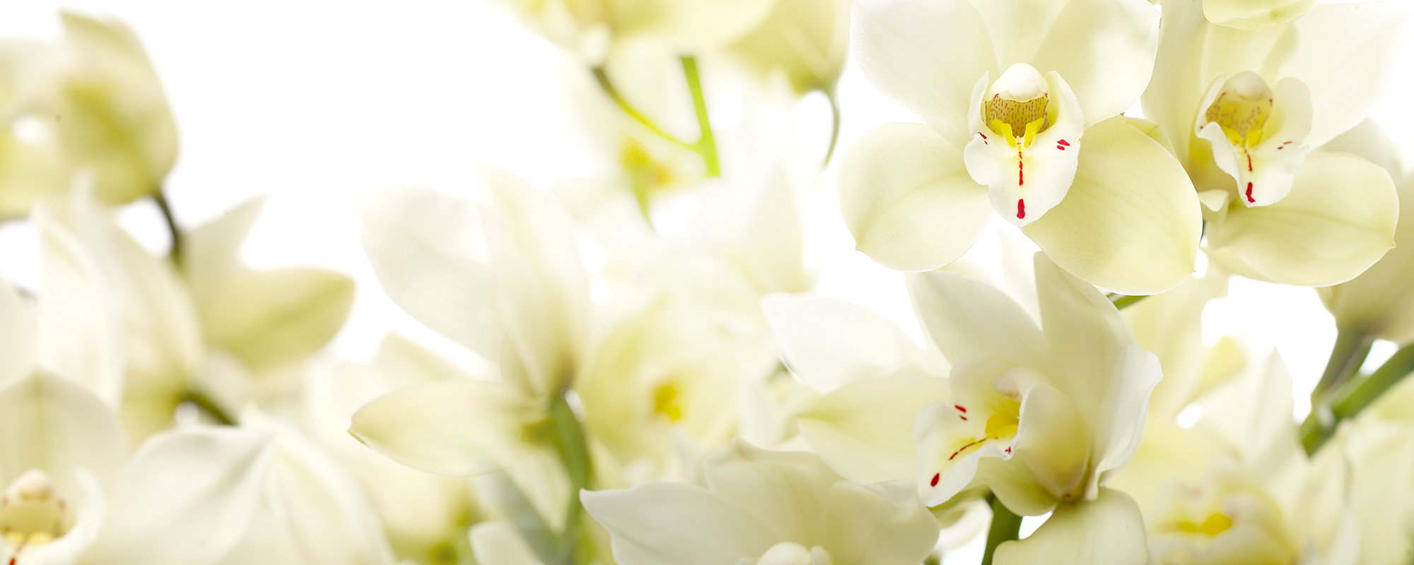 cymbidium-wit-header1