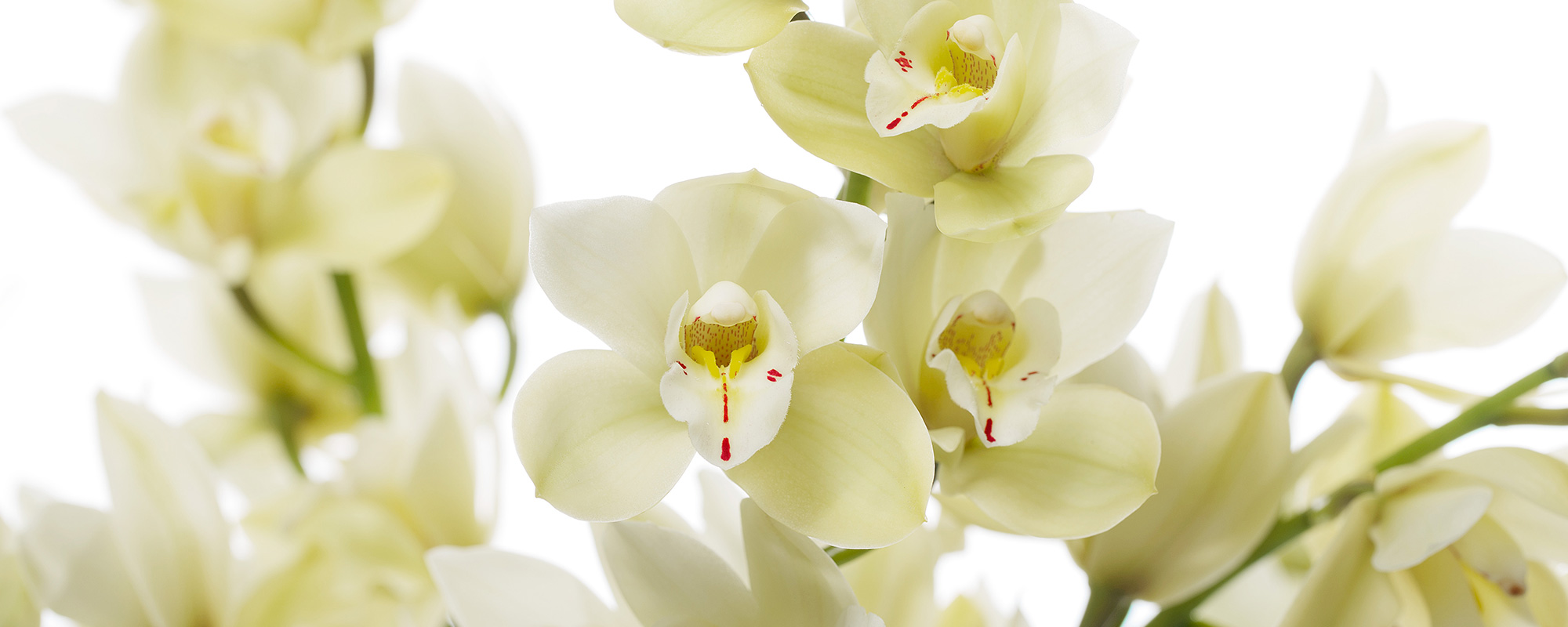 cymbidium-wit-header2